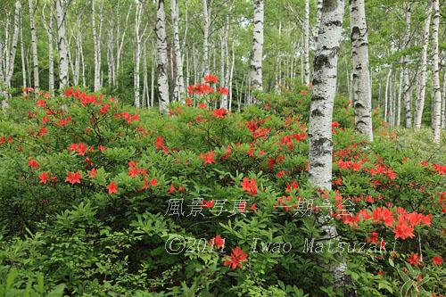 blg_6557ツツジ咲く白樺林