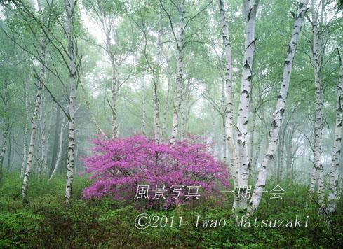 ミツバツツジ咲く白樺林