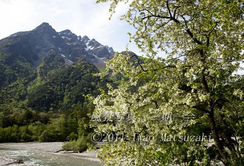 上高地 コナシと明神岳