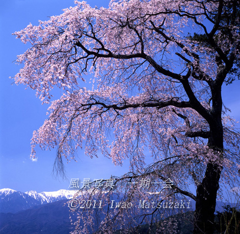 栖林寺の桜