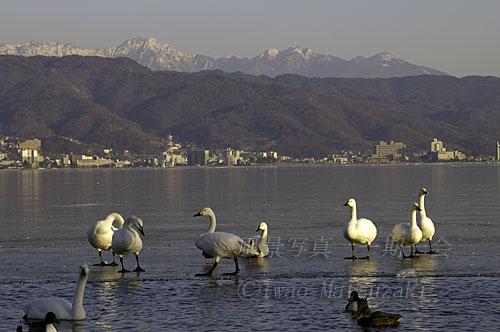 氷上の白鳥達