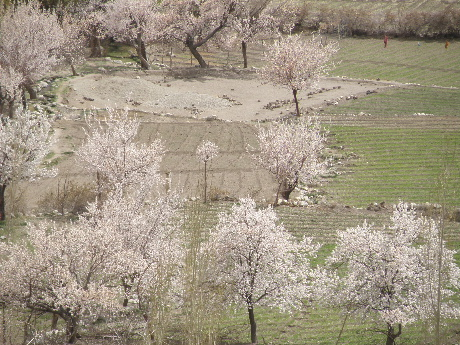 2013 22 to 25 Apr Kargil Apricot (27)
