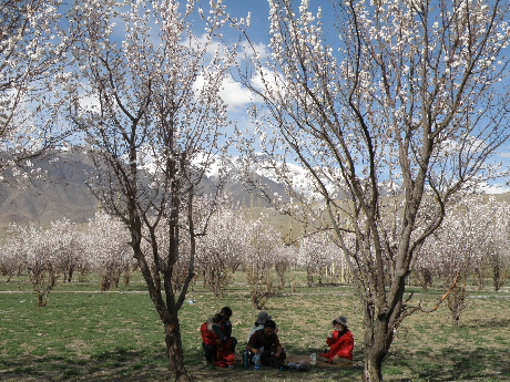 2013 22 to 25 Apr Kargil Apricot (165)