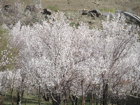 2013 22 to 25 Apr Kargil Apricot (162)