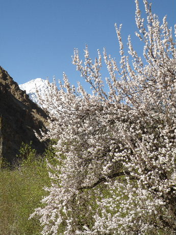2013 22 to 25 Apr Kargil Apricot (130)