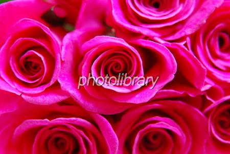 703943 薔薇