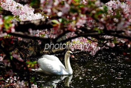 739916 桜と白鳥