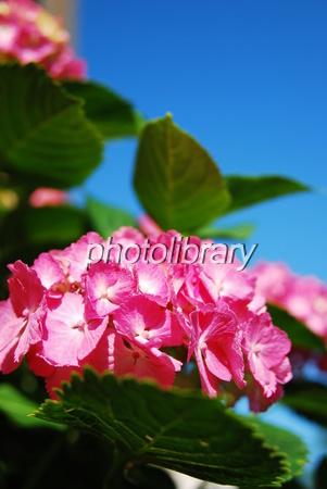 764631 青空に紫陽花