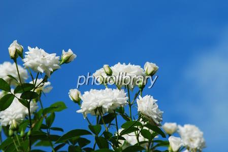 816227 青空に白バラ