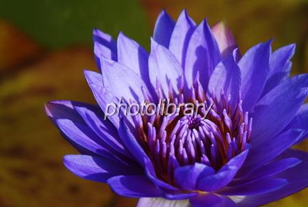 816204 青紫の睡蓮