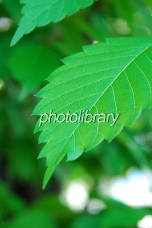 818067 欅の新緑