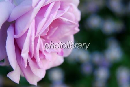 836578 薔薇の横顔