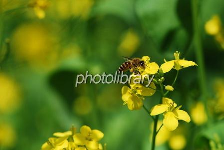 960578 菜の花にミツバチ