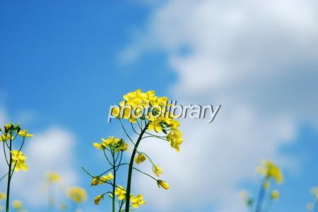 1037199 青空に菜の花