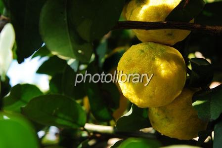 1078717 黄柚子