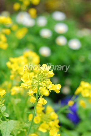 1239202 菜の花
