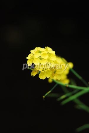 1266466 菜の花