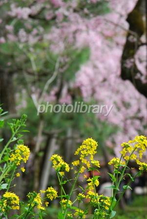 1269961 菜の花と桜
