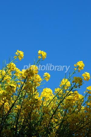 1272988 青空に菜の花