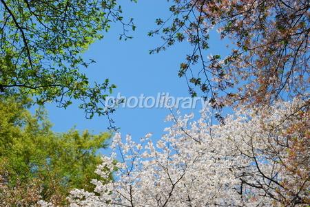 1329404 新緑と桜