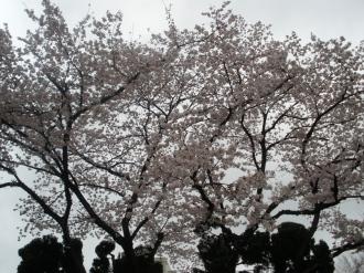 桜・・・もう、うっとり