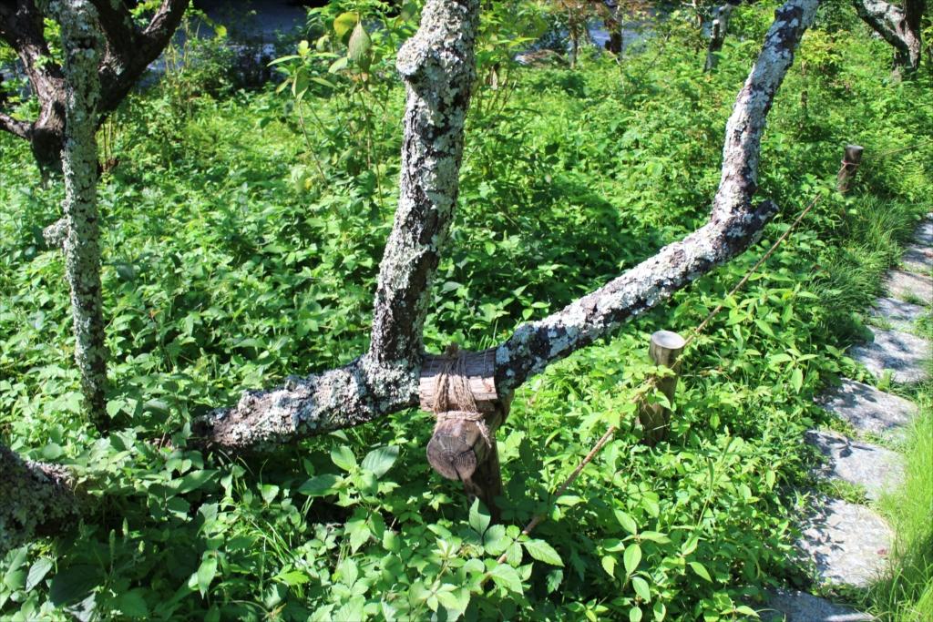 樹木に付いた苔がすごい_3