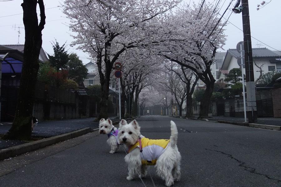 sakurakaranotegami4.jpg