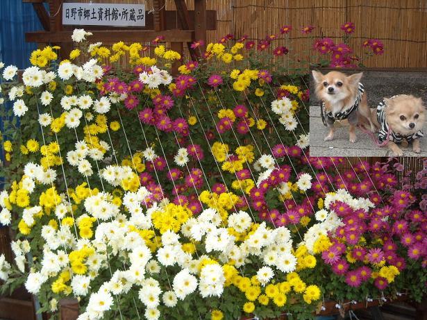 11月16日菊祭り17