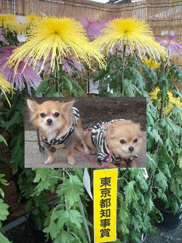 11月16日菊祭り24
