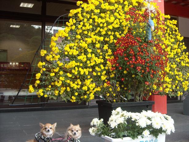 11月16日菊祭り8