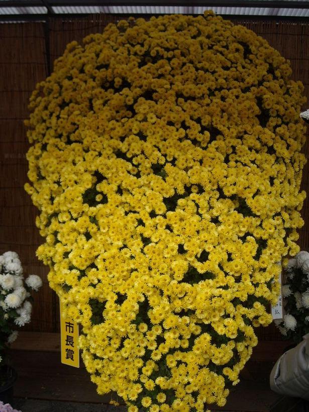11月16日菊祭り10