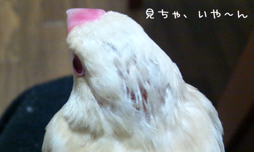 シェル雛換羽_2