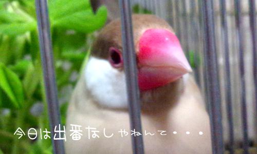 シェル雛換羽_3