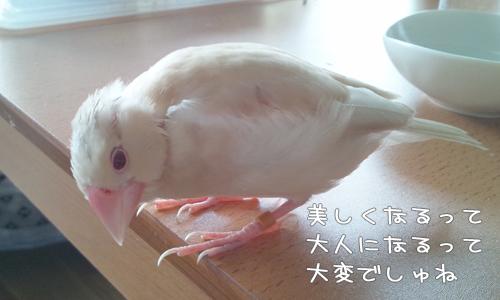 シェル雛換羽_1