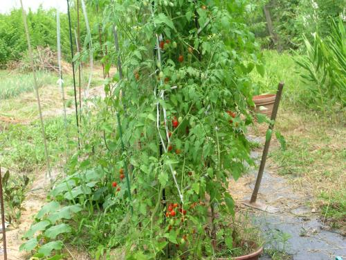 tomato 2