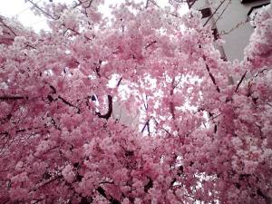 四天王寺夕陽丘の桜