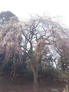 湯田川 梅林公園(2013) 2