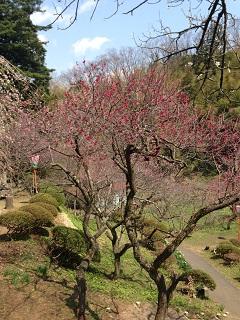 湯田川 梅林公園(2013) 3