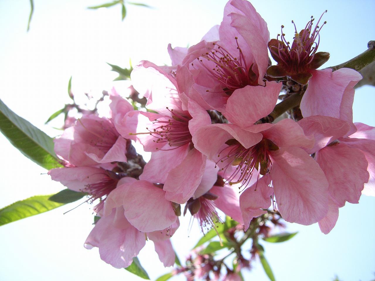 桃の花10