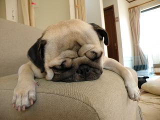 ほっこり、ほっぺ つかれて寝るパグ