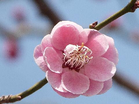 八重の梅 さきたま古墳公園 20130308