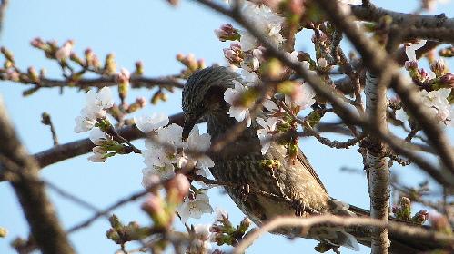 サクラの花の蜜を吸うヒヨドリ