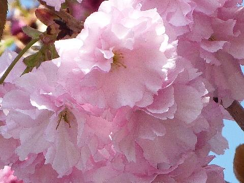 八重桜 20130413田舎の庭③