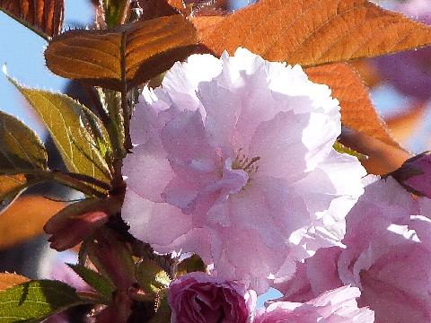 八重桜 20130413 田舎の庭②
