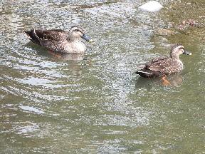 元荒川の水鳥⑧