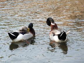 元荒川の水鳥⑪