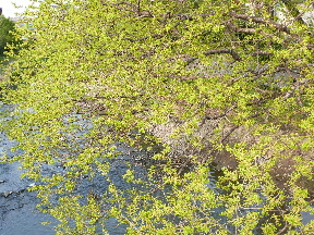 元荒川の新緑①