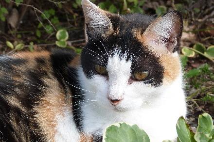 三毛猫ミユ