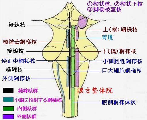 脳幹網様体 - 漢方医学の豆知識