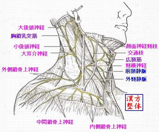 首の神経(頸神経叢) - 漢方医学の豆知識